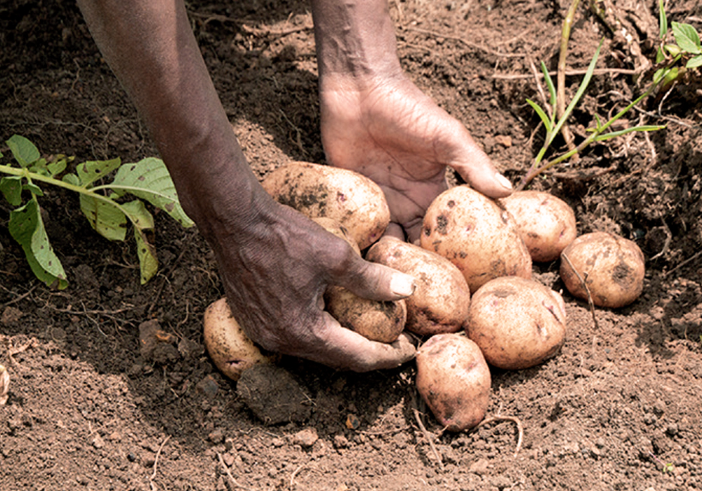 Potato Initiative Africa